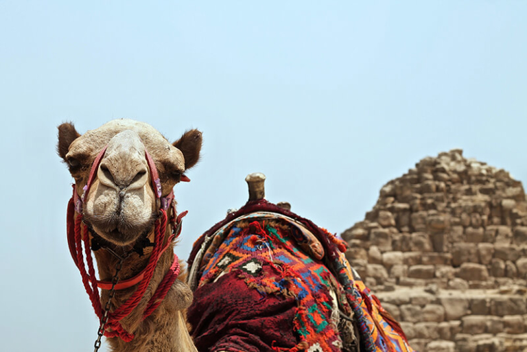 A camel in Egypt