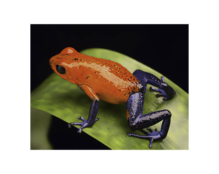frog from the tropical rain forest of Costa Rica