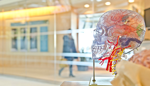 Transparent skull anatomy model in facility