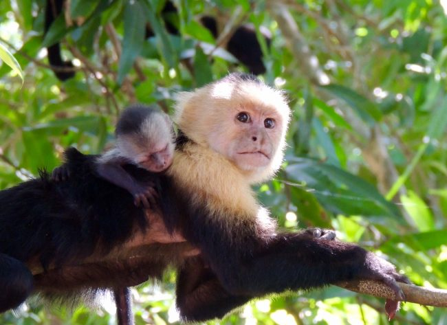 capuchin monkey and baby in costa rica