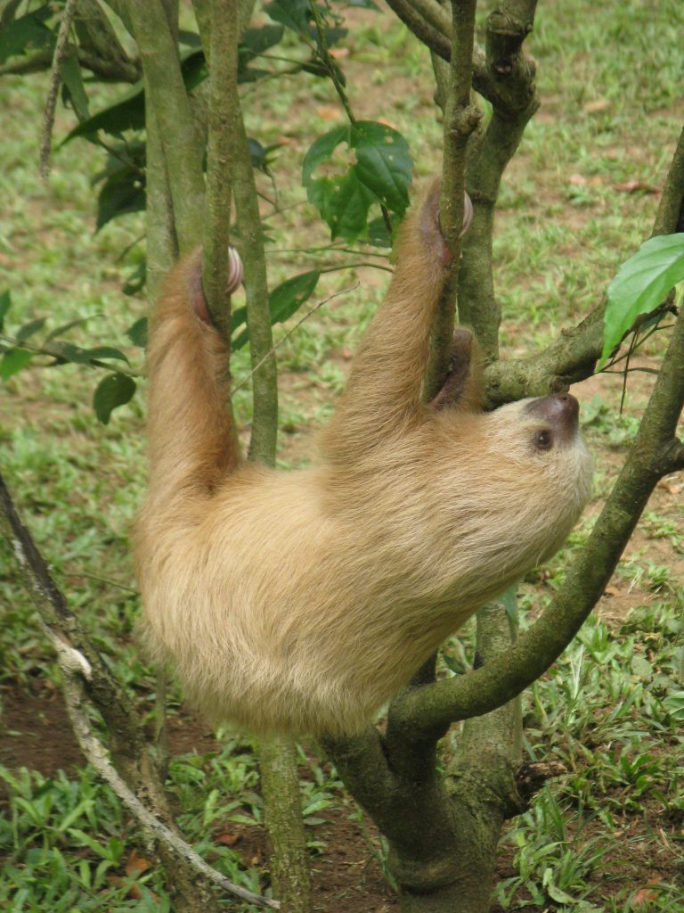 Three-toed sloth hanging in tree