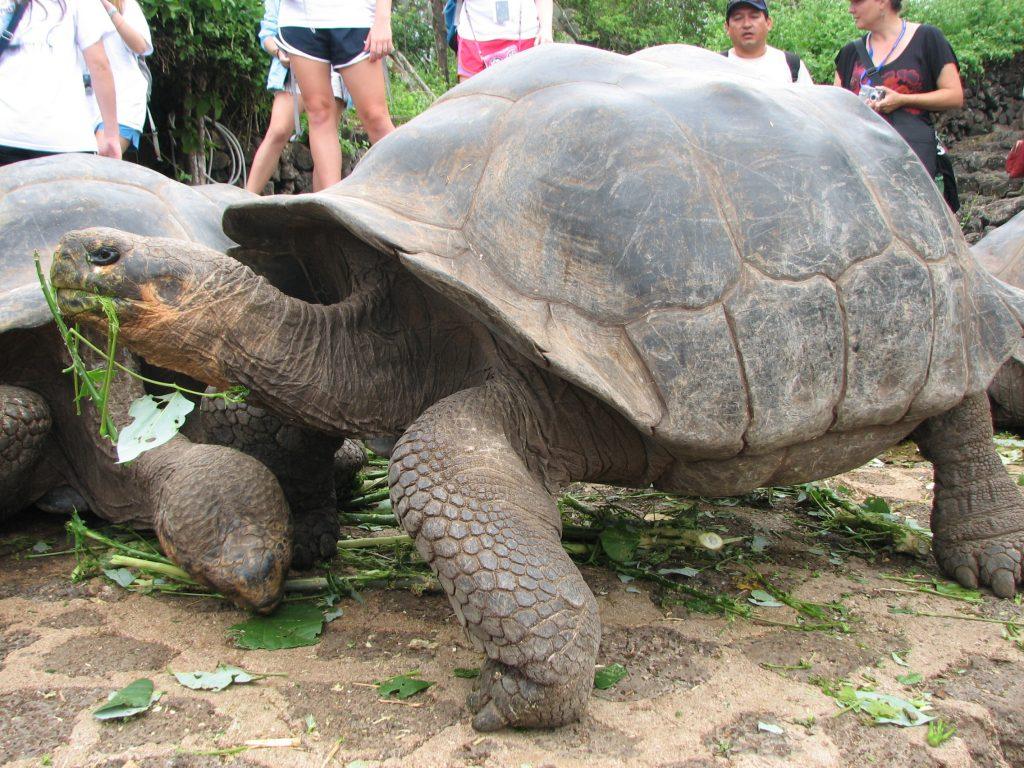 Large tortoise on land eating vegetation
